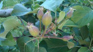 米崎りんごの摘果