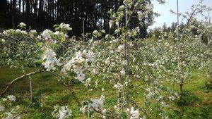 りんごの受粉作業